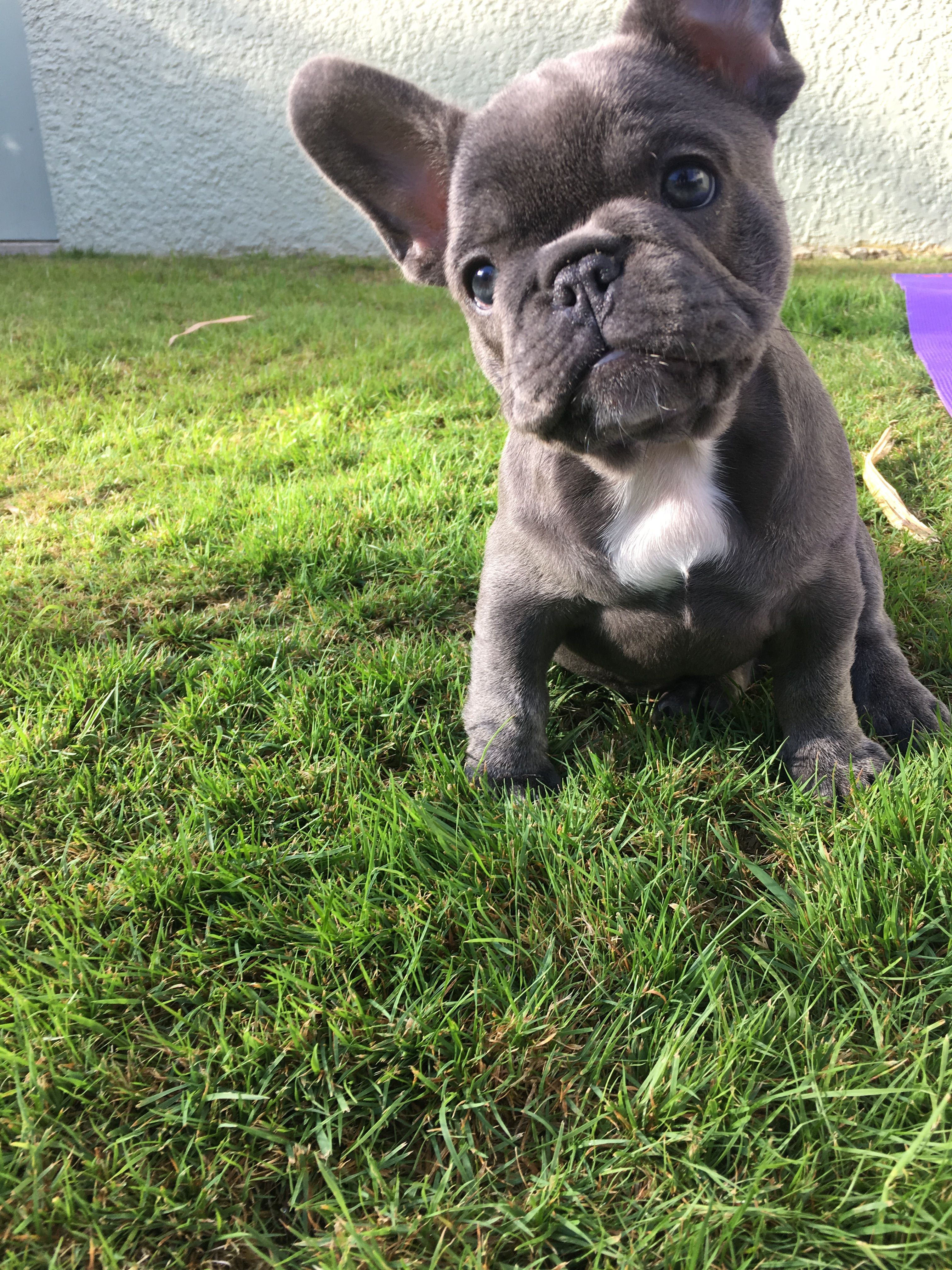 my darling margot the 8 week old french bulldog pup | i <3 frenchies