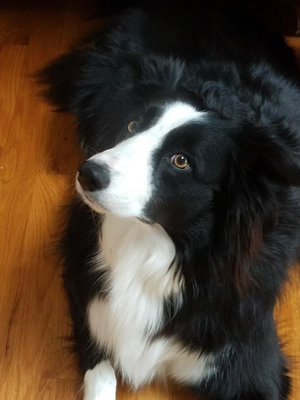 Pinterest Catherinesullivan2017 Collie Dog Dogs Beautiful Dogs