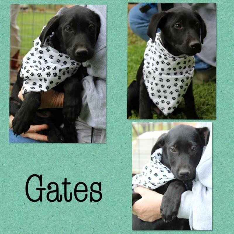 Adopt Gates On Petfinder Shepherd Mix Dog Adoption Forever Family