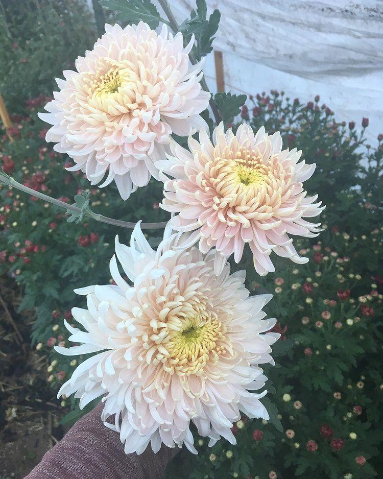 Pin On Chrysanthemums American