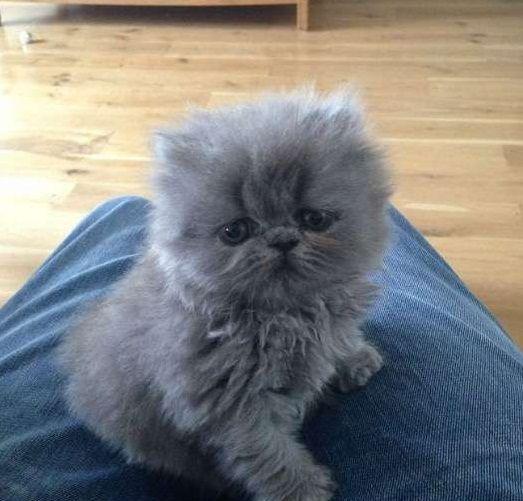 Persian Kitten Grey Color Persian Kittens Blue Cats Kittens