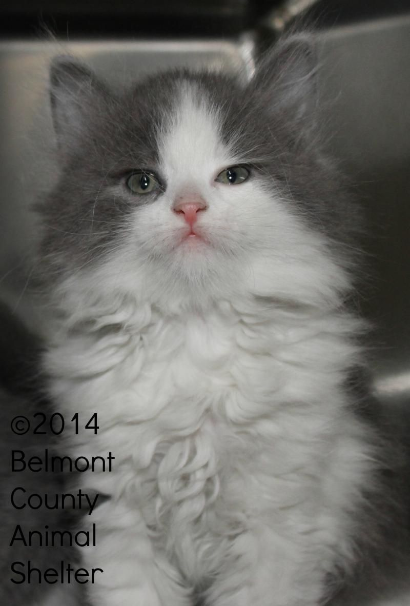 Petfinder Adoptable Cat Domestic Long Hair Gray And White Saint Clairsville Oh Male Kitten Cat Adoption Cats Homeless Pets
