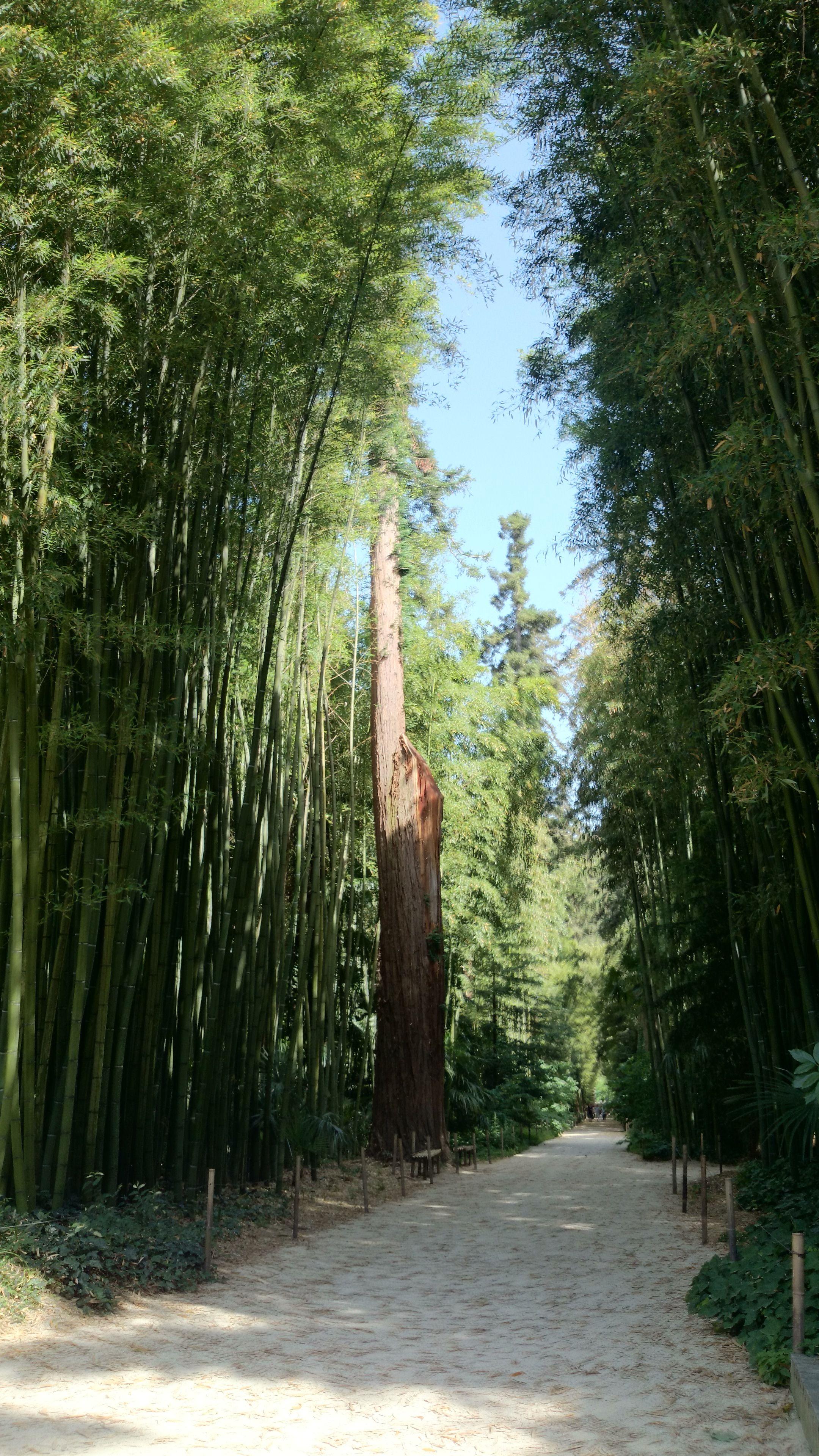 Bambous .Photo M.Mourissargues