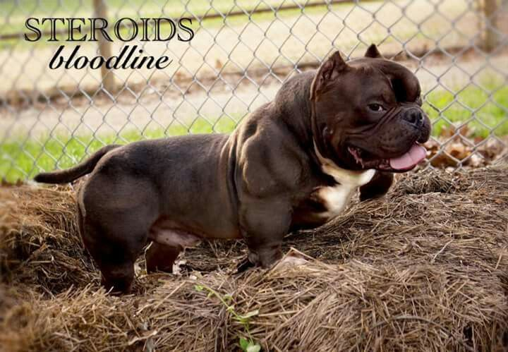 Pin By Cid Avina On American Bully Bully Dog Cute Funny Animals American Bully