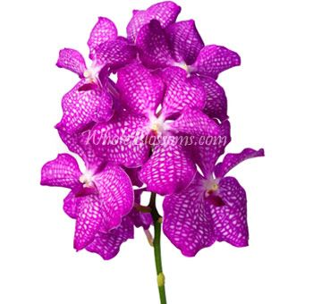 Pink Vanda Orchids Wholesale Orchid Tropical Flowers For Weddings Vanda Orchids Orchids Orchid Flower