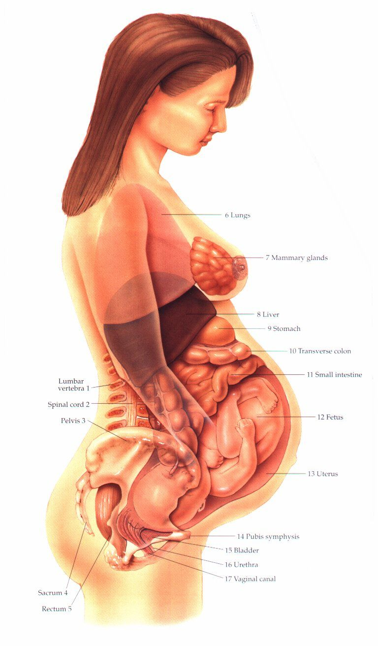 Prenatal Anatomy Ob Labor Delivery Nursing Pinterest