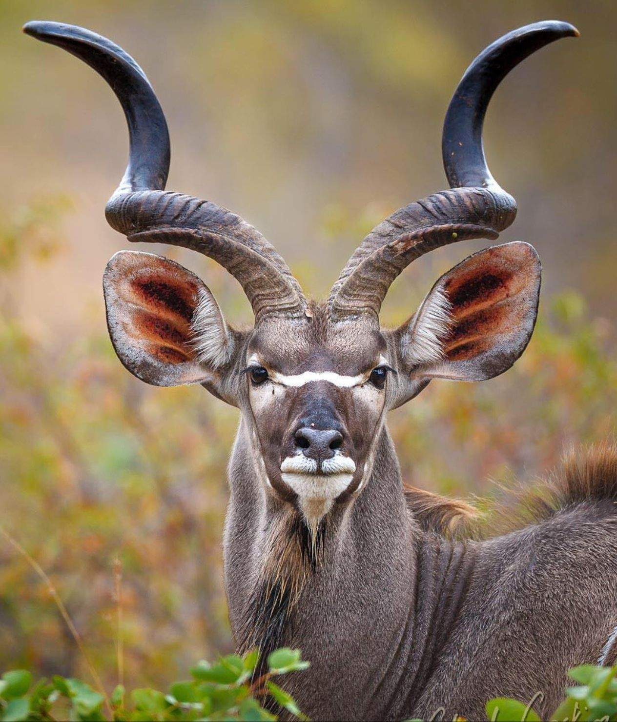 37++ Spiral horns information
