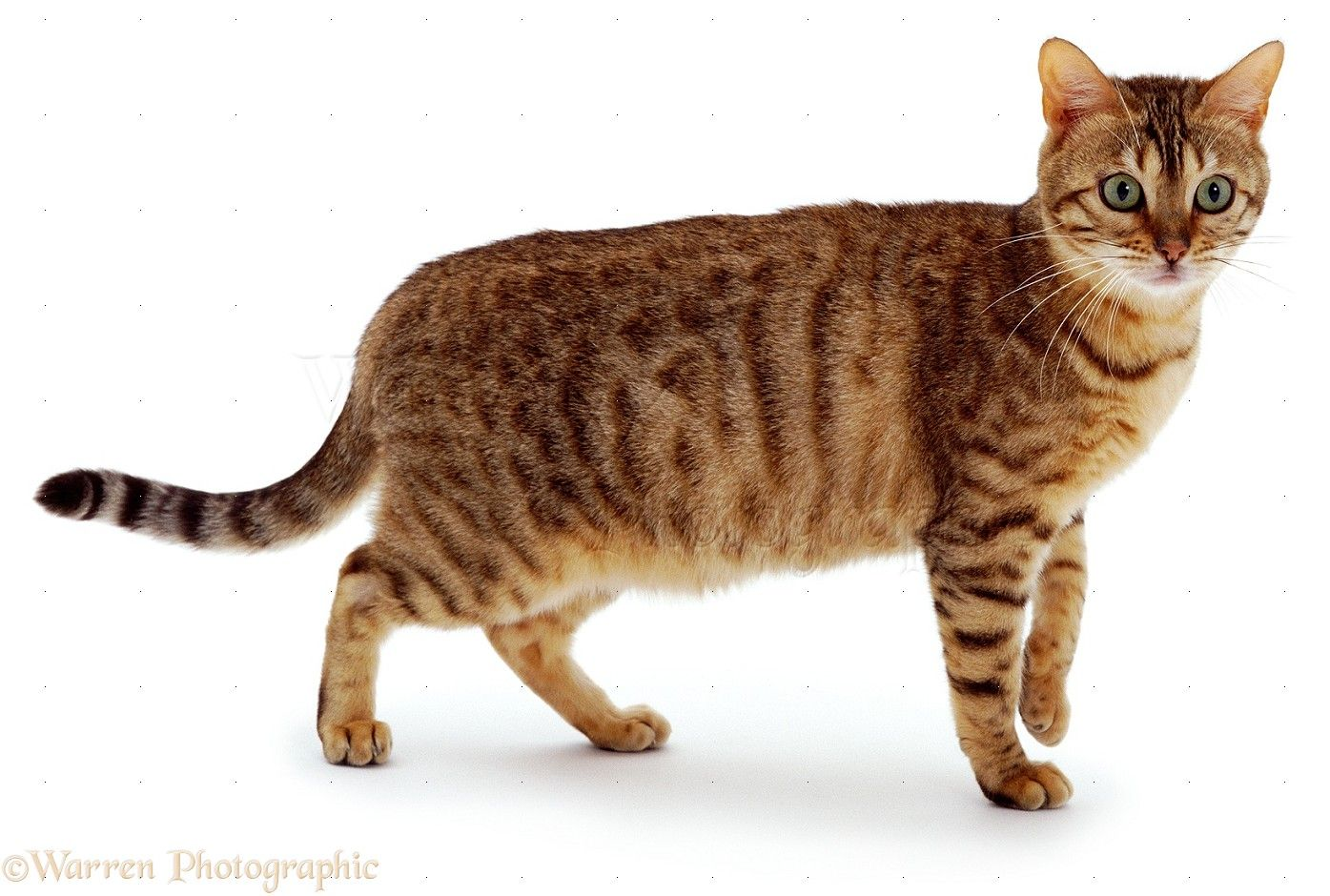 WP00774 Brown spotted Bengal cat. - #bengalcat - See more stunning ...