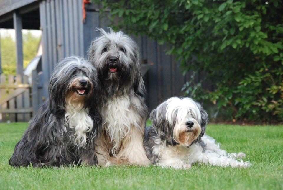 Tibet Terrier1 Tibet Terrier Tibet Terrier Welpe Terrier