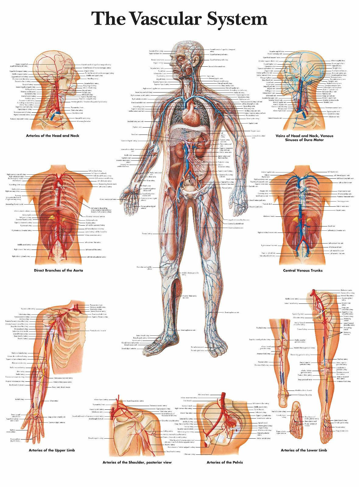 A3 Medical Poster The Human Vascular System Text Book Anatomy