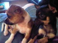 Gumtree Puppies For Sale Chihuahua Dogs Puppies Cute Animal