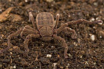 na faixa de reserva florestal Atewa, em Gana.. Esta estranha criatura se parece com um cruzamento entre uma aranha e um caranguejo, e os machos têm seus órgãos reprodutivos em seus pés.