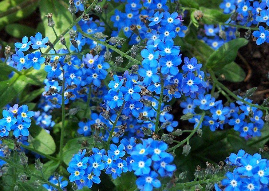 http://www.pictokon.net/bilder/01-bildermaterial/vergissmeinnicht-blaue-blueten-2.jpg