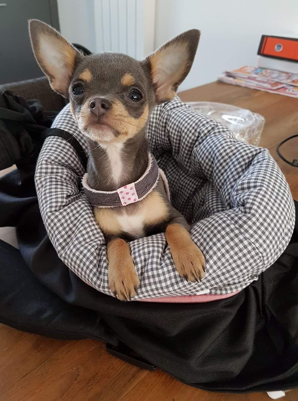 I M Ready Mom Let S Go Chihuahua Chihuahua Puppies Cute Chihuahua Cute Baby Animals