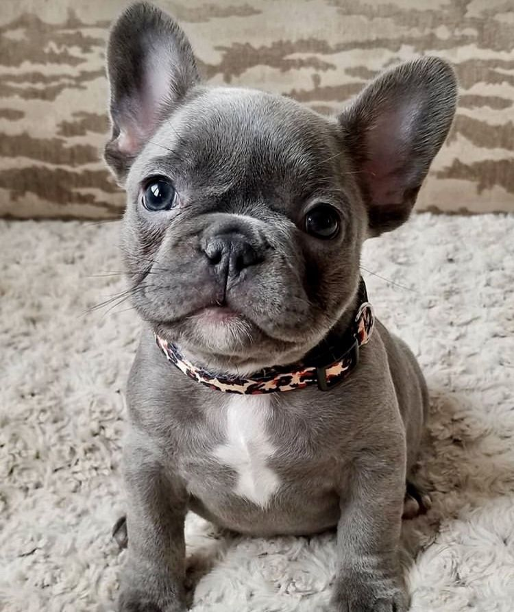 Pin By Allie Sanderson On D O G G O S French Bulldog