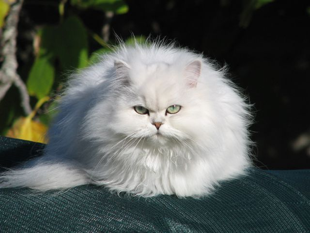Chinchilla Cat Chinchilla Longhair Cat Fun Animals Wiki Videos Pictures Stories Fancy Cats Beautiful Cats Gorgeous Cats