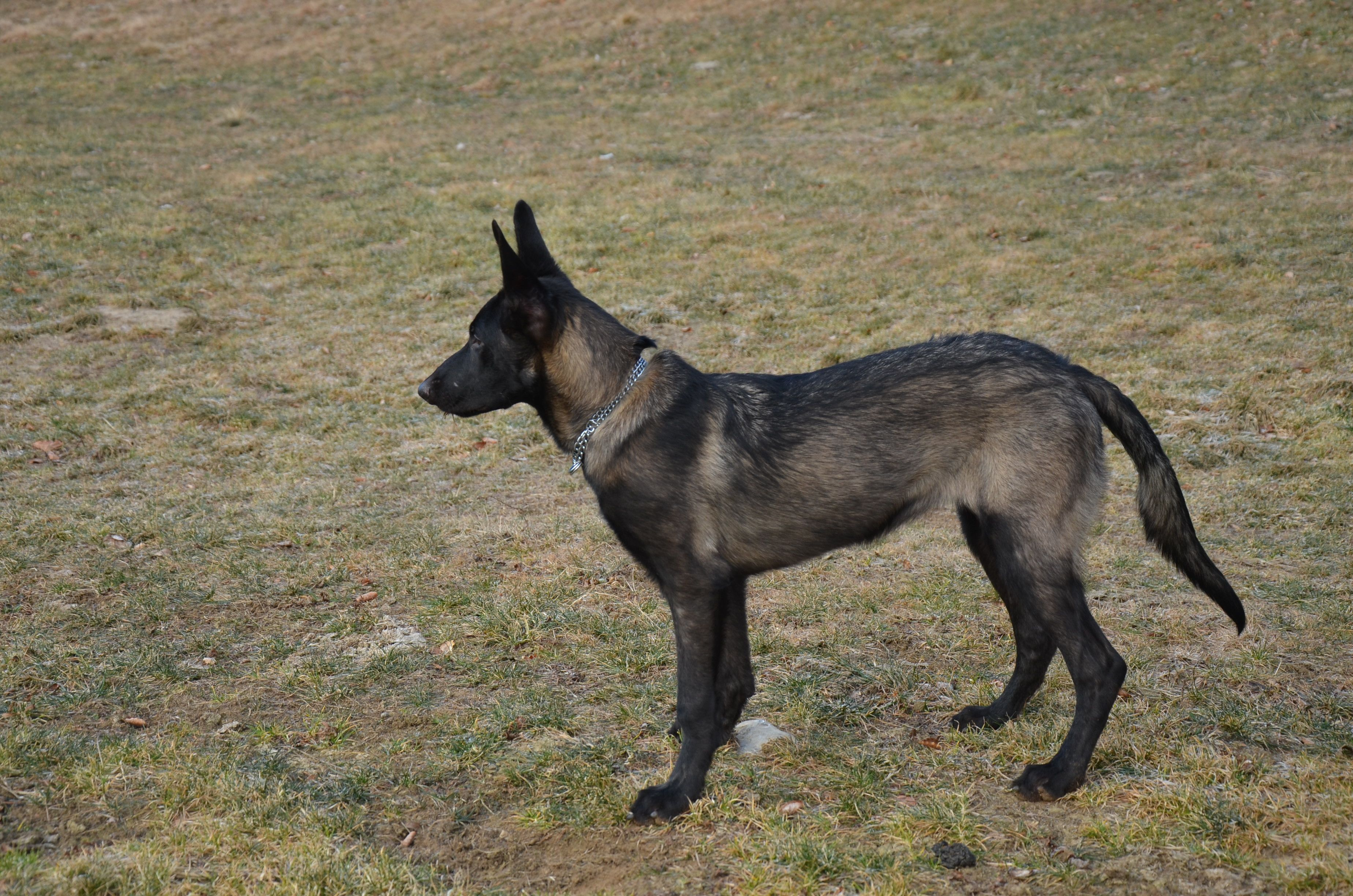 My Dog Plata Female Belgian Malinois Colour Dark Fawn Sable Age 6 Months Italy Belgianmalinois Malinois Malig Pastor Belga Malinois Pastor Belga Perros