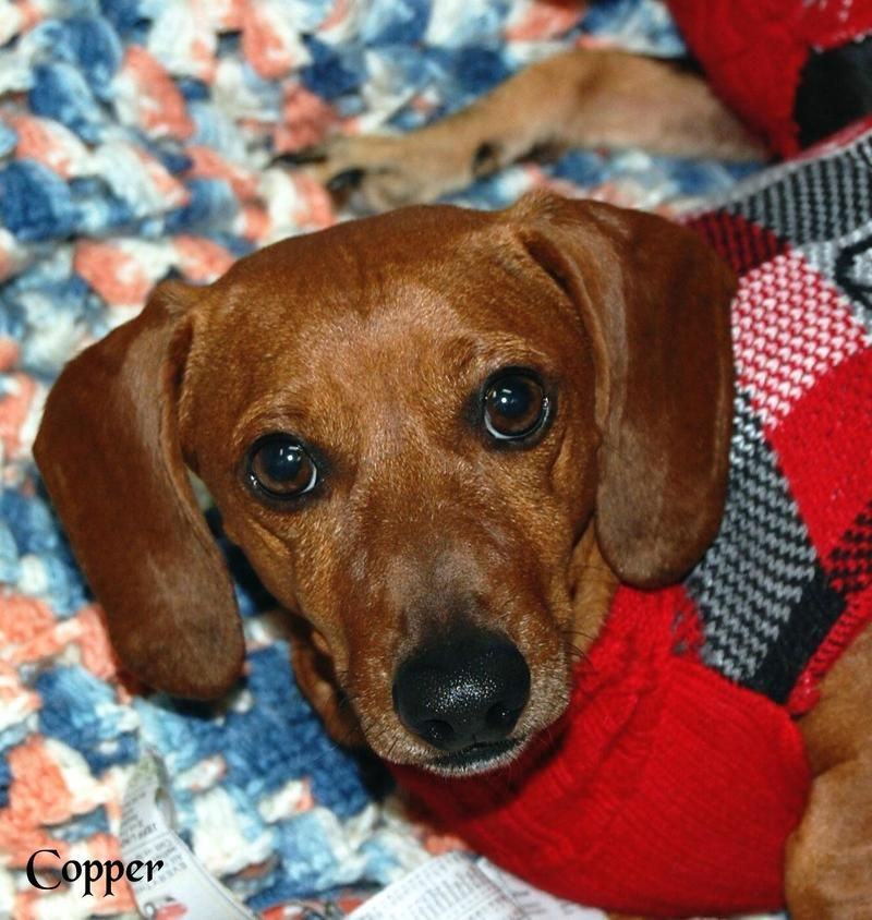 Adopt Copper On Dachshund Dog Animal Rescue Dogs