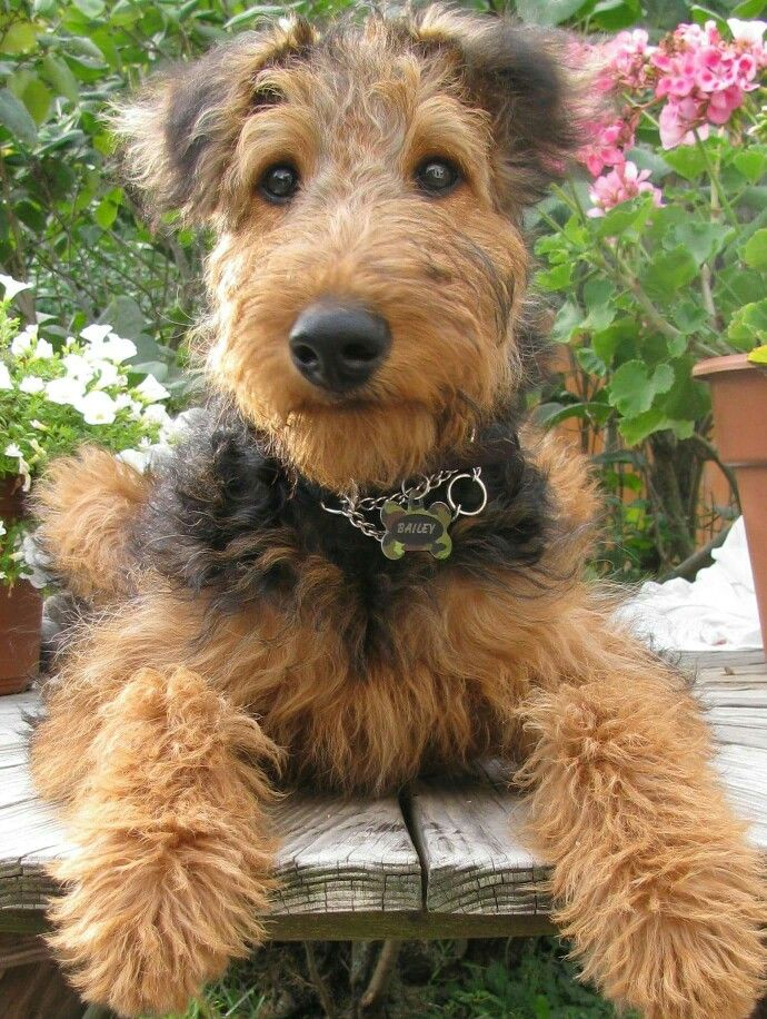 Precious Airepup Airedale Dogs Airedale Terrier Puppies Terrier