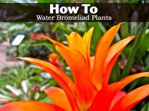 Bromeliad Watering How Often To Fill Up The Tank Water Videos And Plants