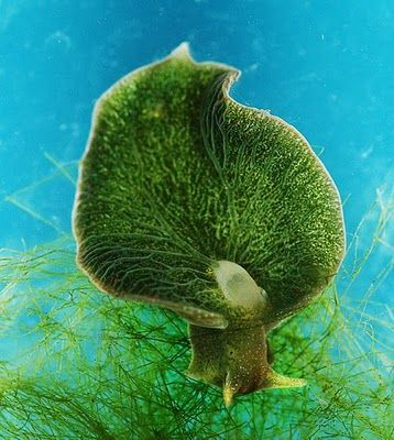 "Elysia chlorotica, commonly known as the Eastern Emerald Elysia, is one of a few ""solar powered sea slugs"" that utilize solar energy via chloroplasts from its main food source - algae."