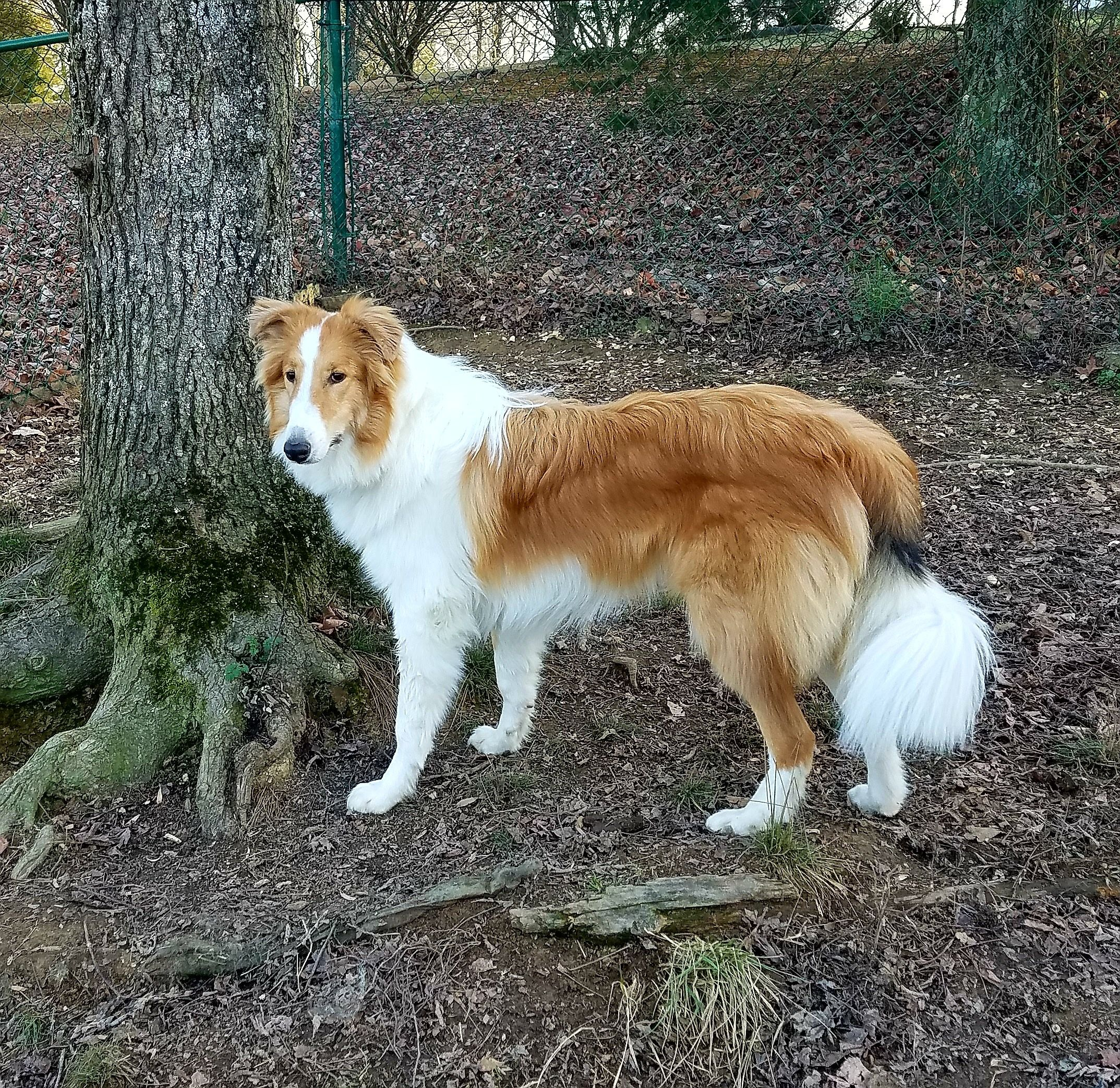 Adopt Joey On In 2020 Dogs Rough Collie English Shepherd