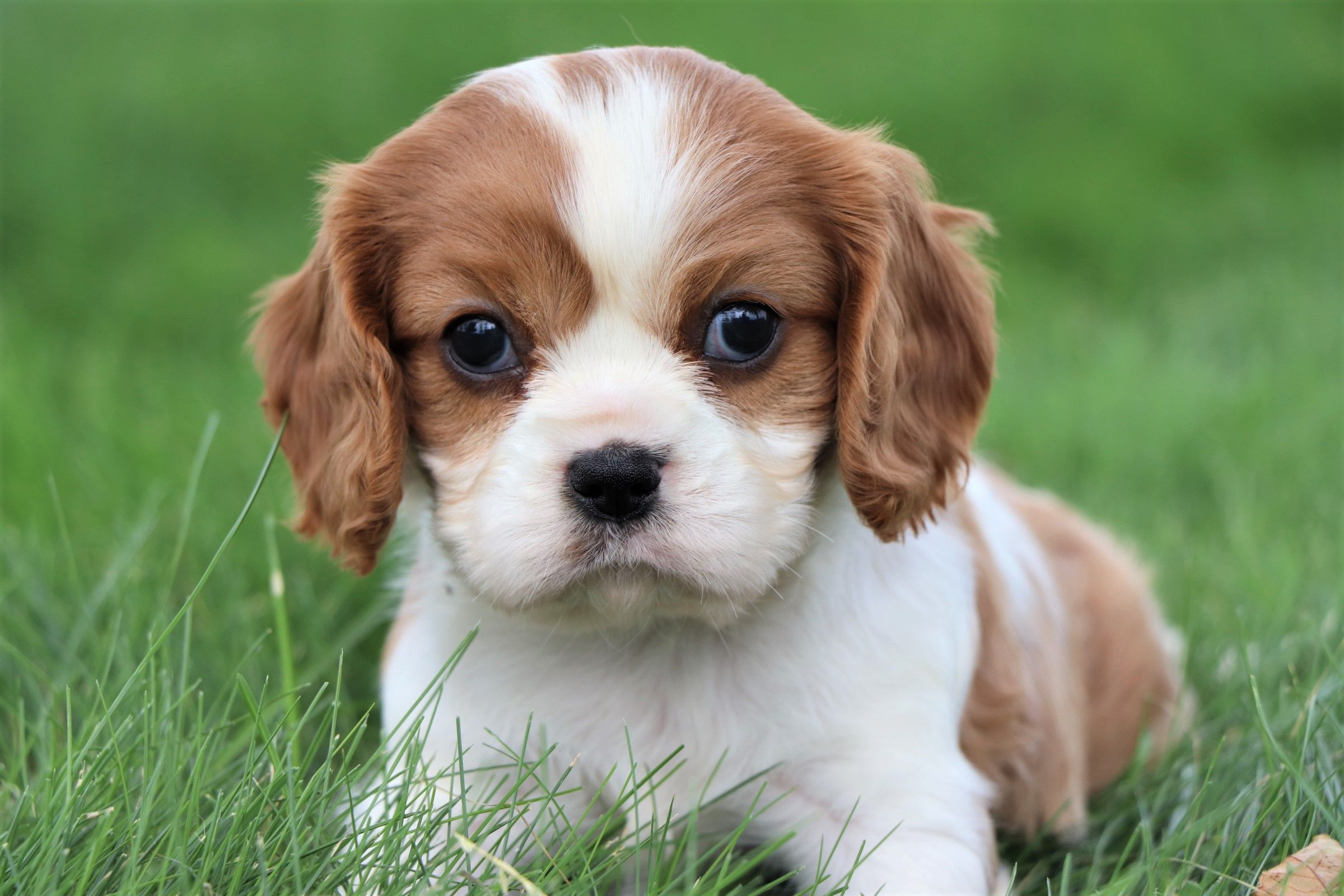 Puppies For Sale King Charles Cavalier Spaniel Puppy