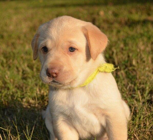 Litter Of 5 Labrador Retriever Puppies