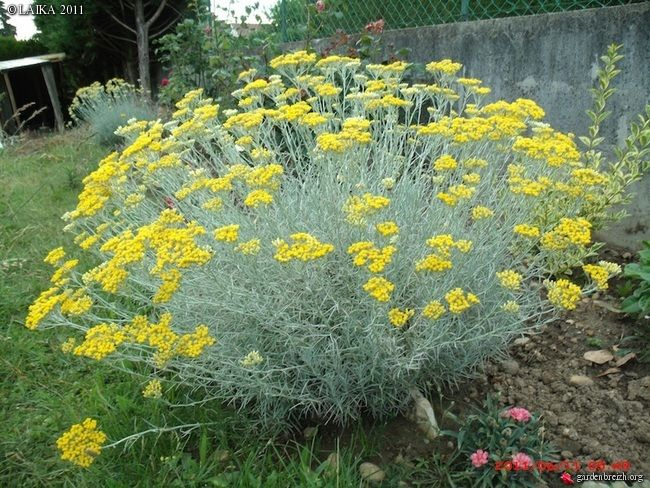 Curry Landscape And Garden : Curry plant helichrysum italicum drought tolerant shrub by