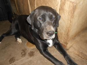 Adopt Thelma On Black Labrador Retriever Labrador Retriever Dog
