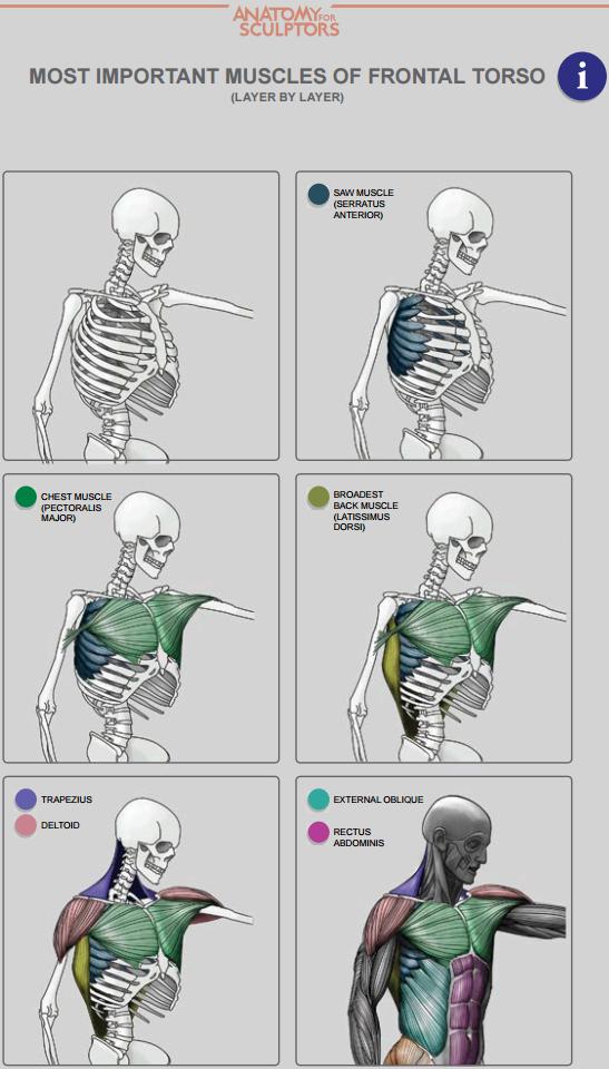 Pin de Magnum Opus en Torso | Pinterest | Anatomía y Deporte