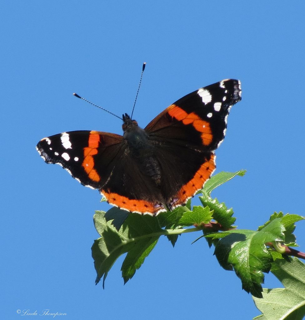 Red Admiral Butterfly On Hawthorn