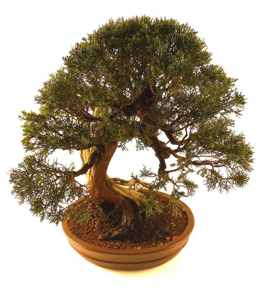 pingl par sankaly bonsa sur bonsai pinterest bonsai exterieur feuillus et vente en ligne. Black Bedroom Furniture Sets. Home Design Ideas