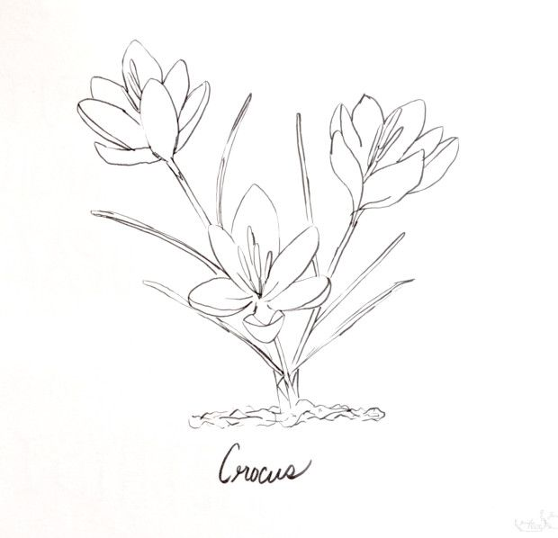 Crocus Spring Printable Coloring Page Coloring Pages Printable