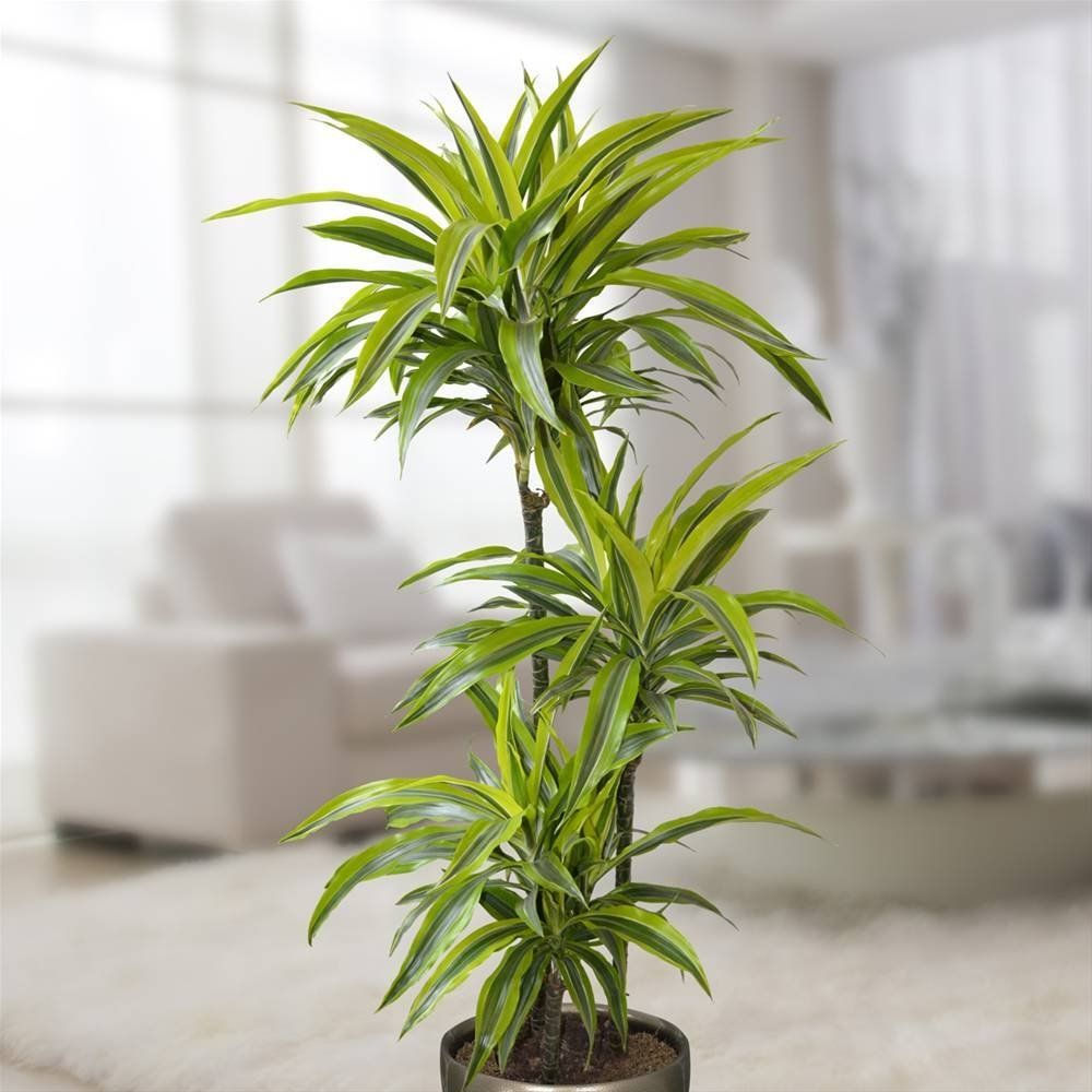 Dracaena Lemon Lime Bathroom Plants Best Bathroom Plants Plants Uk