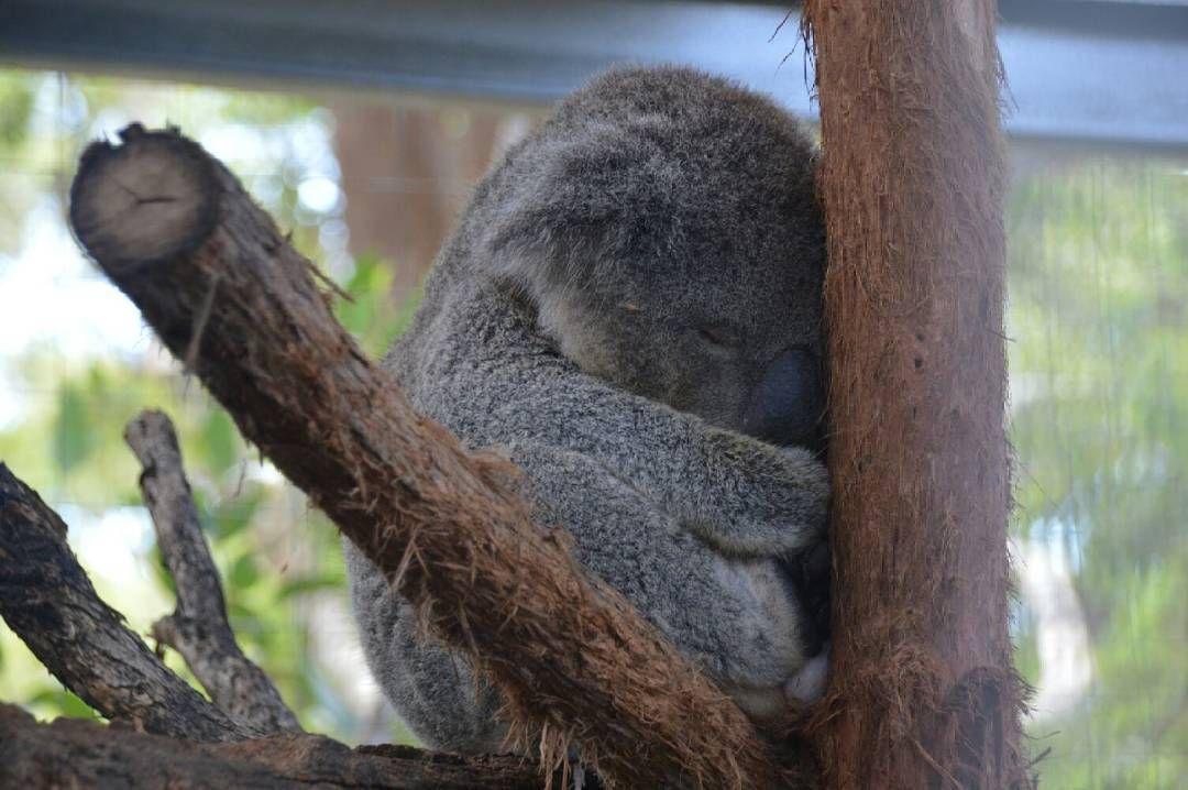 Darf ich dich bitte mitnehmen?   #esistsoflauschigichwerdwahsinnig #travel #australia #koala