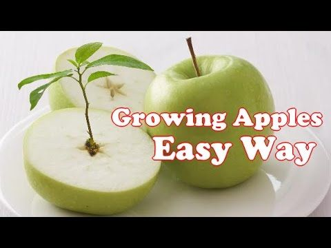 How to grow an apple tree from seed the easy way! Quick