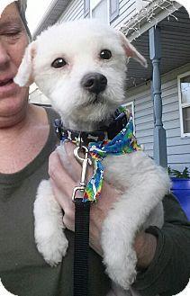 Willingboro Nj Maltese Mix Meet Alfie A Dog For Adoption Kitten Adoption Pets Pet Adoption