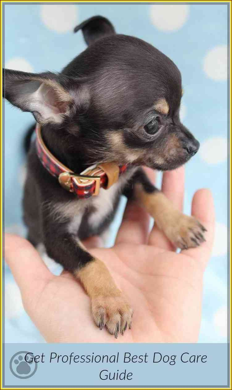 Follow This Great Dog Care Guide To Help You Chihuahua Puppies