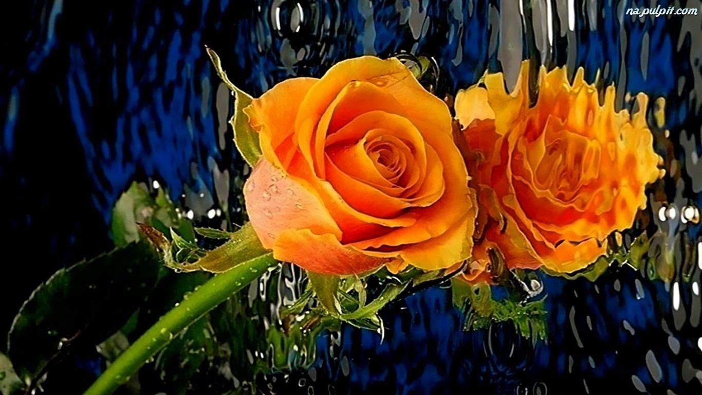 Wodzie Odbicie Roza Pomaranczowa W Na Pulpit Flowers Beautiful Flowers Rose