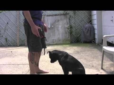 How To Train A Dog To Wear A Muzzle With Josh Moran Iacp Video