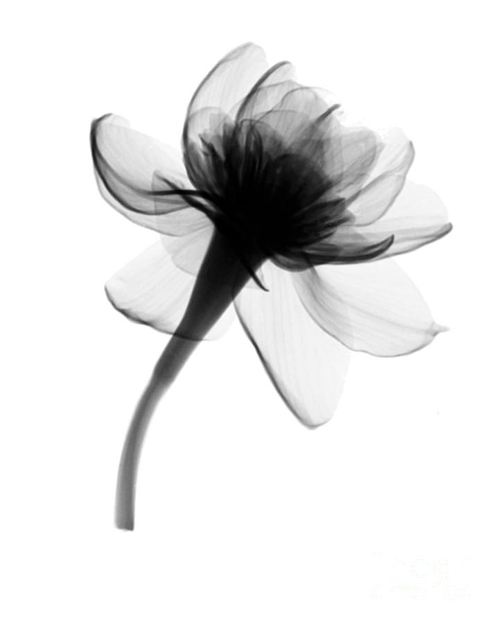 December Birth Flower Tattoo Black And White: Narcissus Blossom X-ray By Bert Myers