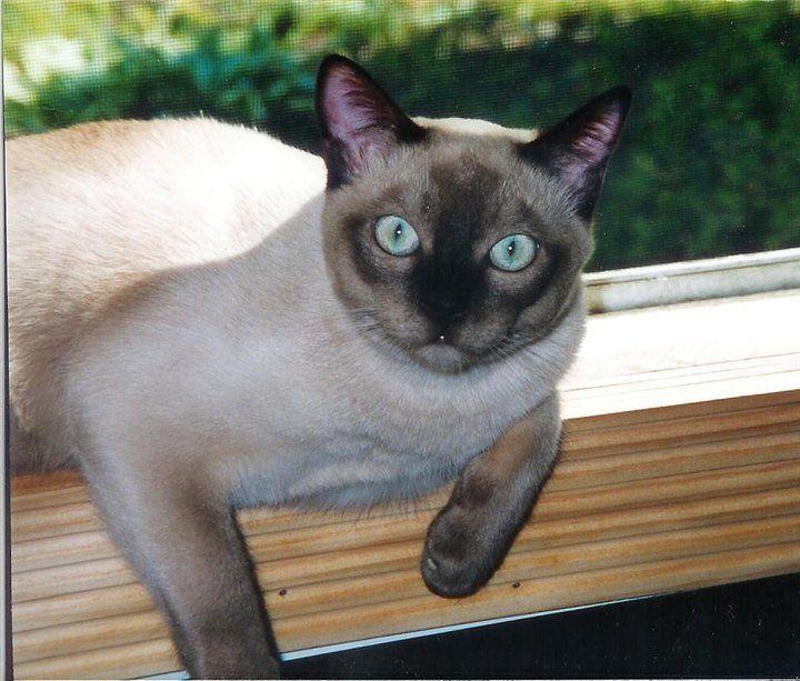 Great Gatsby Gato My Champagne Mink Tonkinese Boy Tonkinese Cat Grey Kitten Tonkinese