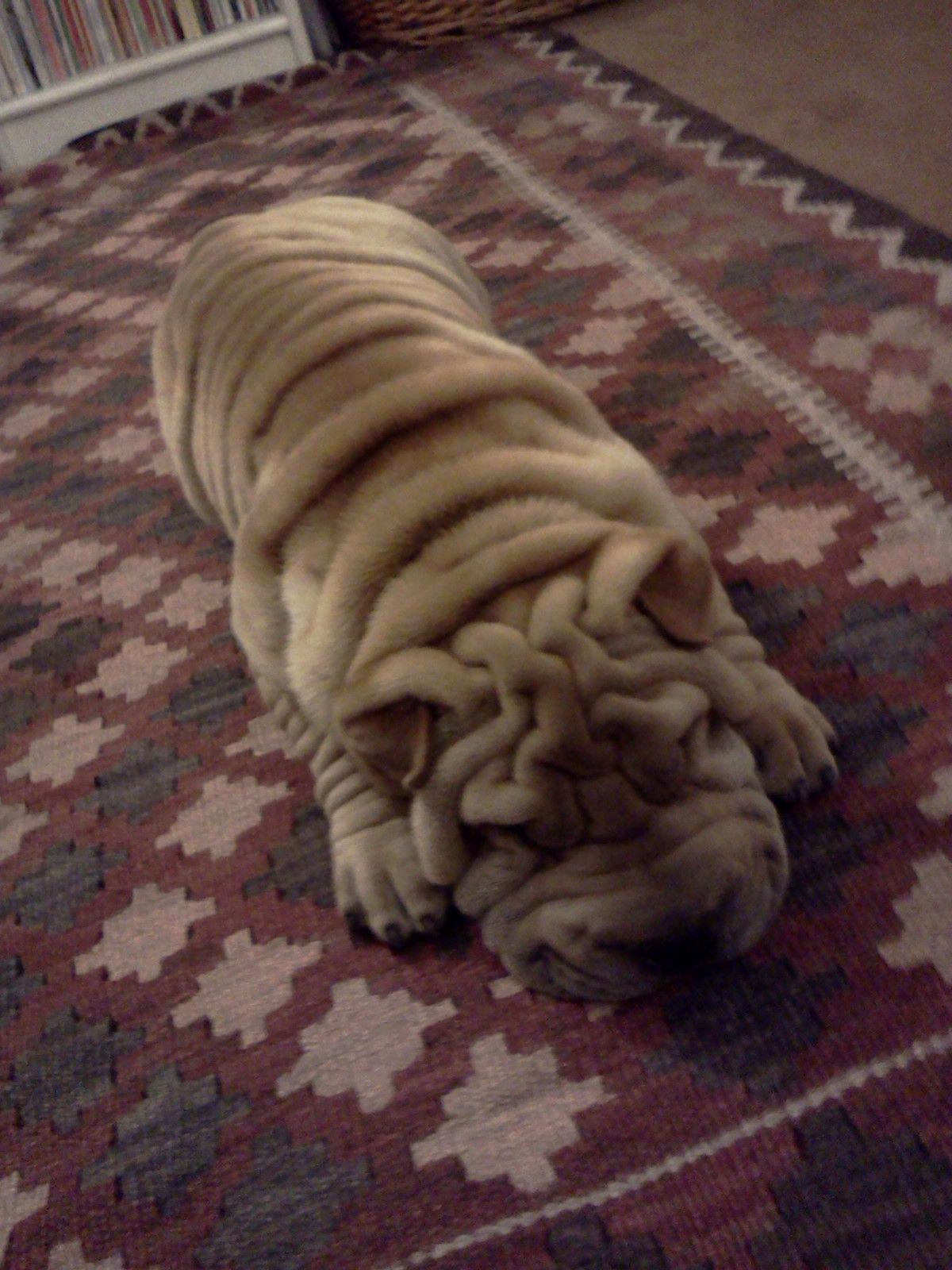 Popular Shar Pei Chubby Adorable Dog - c436a4935b3304c879056aa3921fc1a9  Best Photo Reference_75959  .jpg