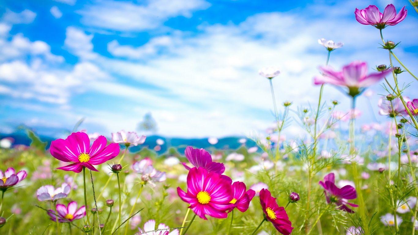Pink Flowers Summer Wallpaper In 1366x768 Spring Flowers Background Pink Flowers Wallpaper Flower Wallpaper