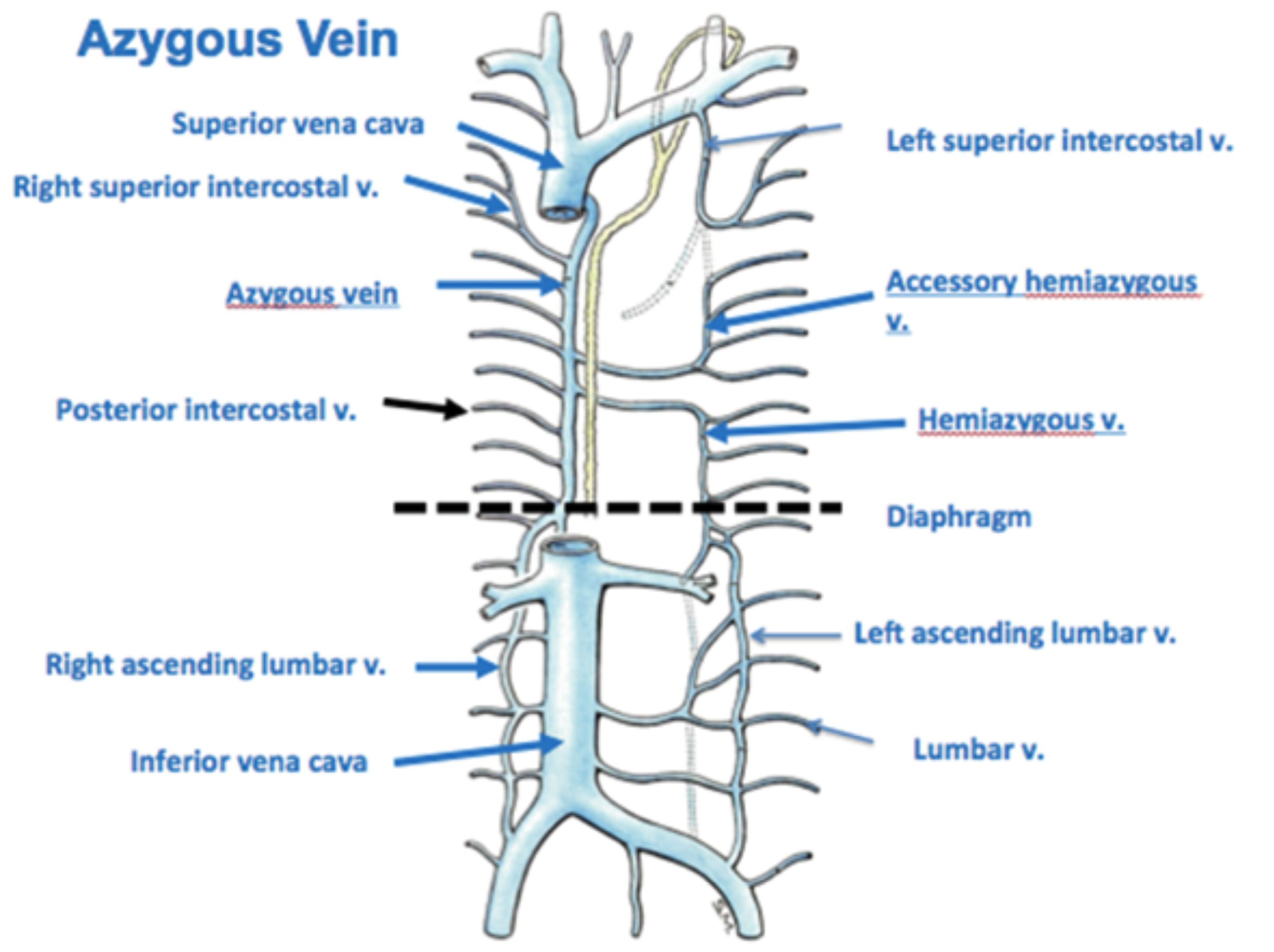 Venous anatomy chest