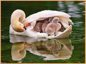 Safe under mother's wing