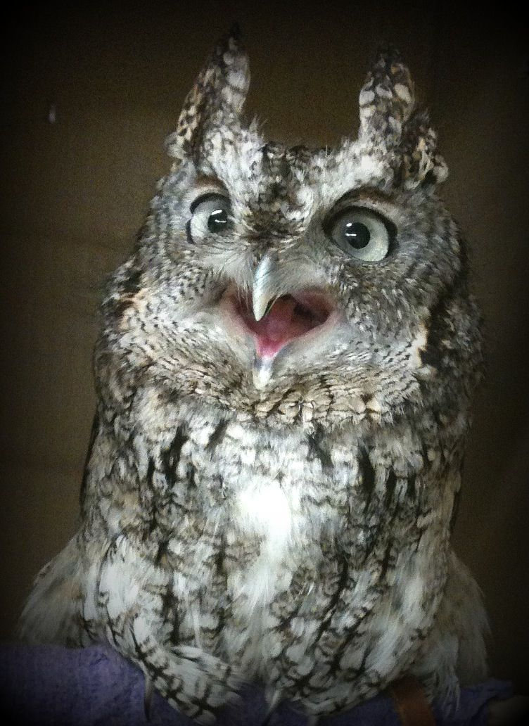 Angry Screech Owl doesn't want me to take his picture