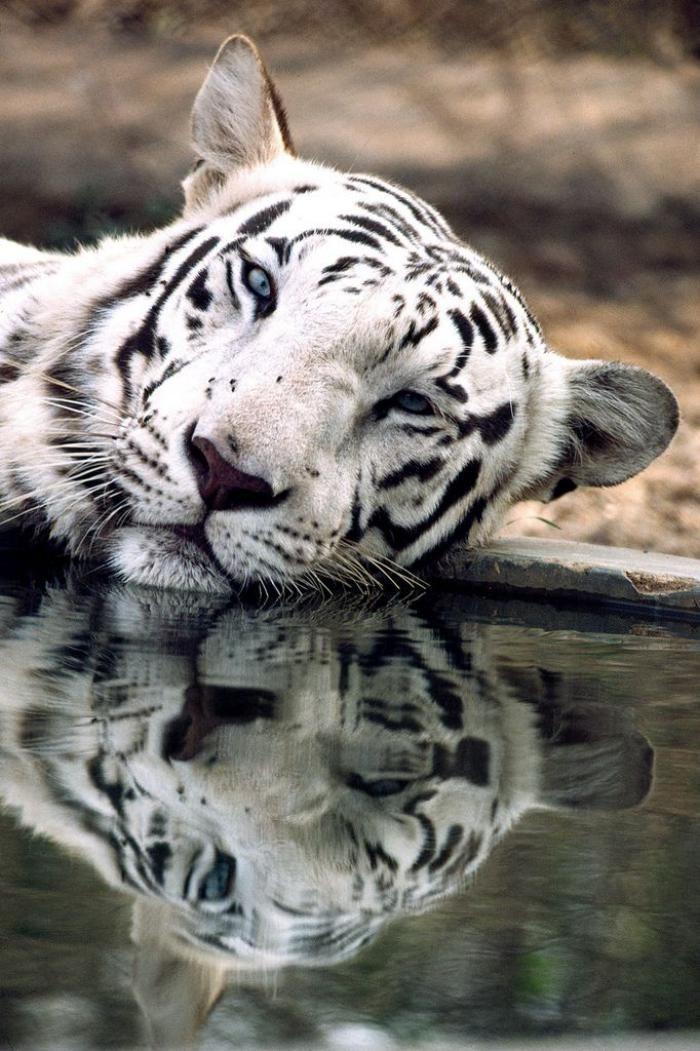 chats sauvages, tigre blanc qui se repose près de l'eau