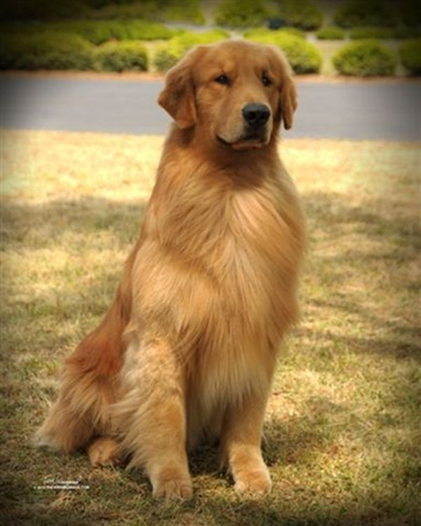 Beautiful Golden Retriever Hope Your Doing Well Tempe Dog